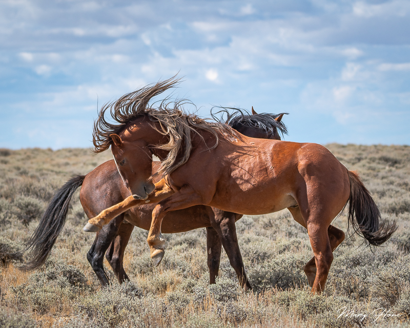 wild horses fighting