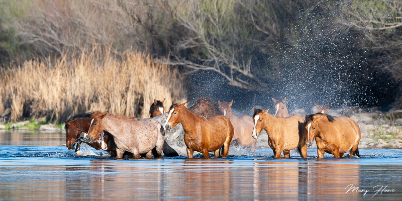 wild horses in a river
