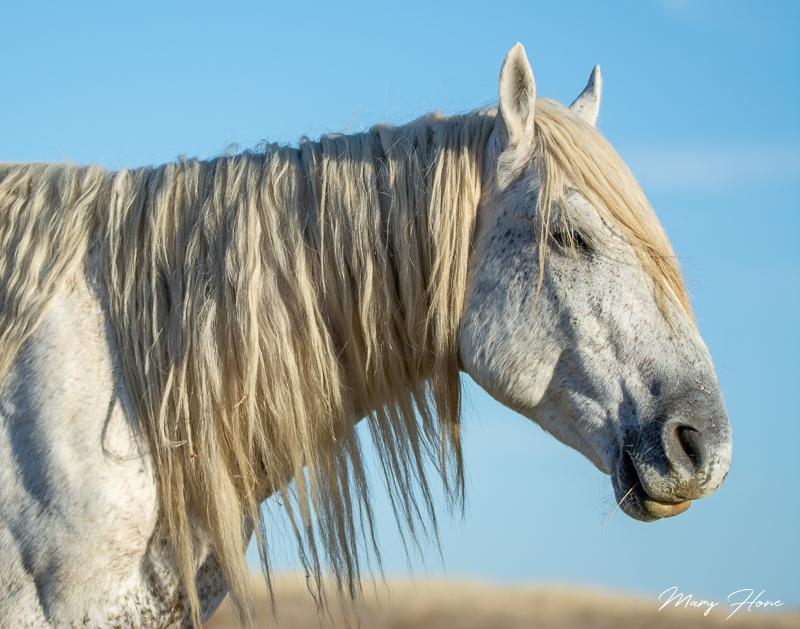 wild horses, old man