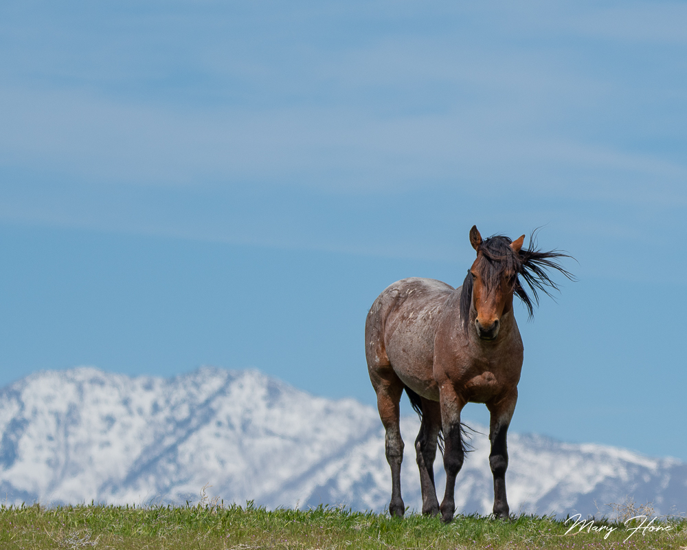 wild horse on a ridge