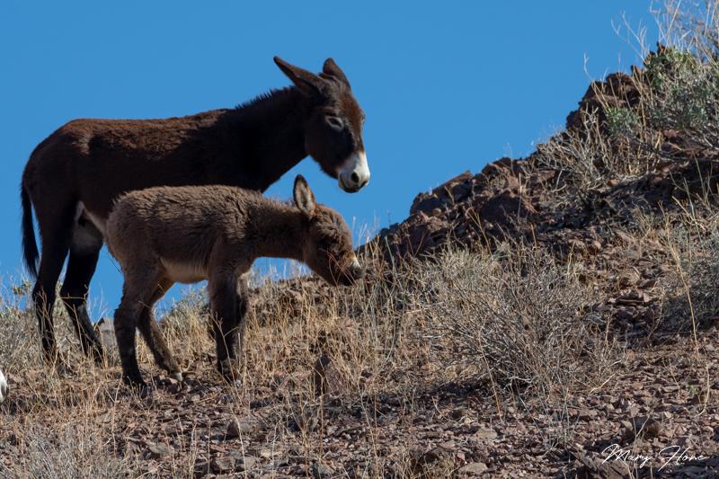 wild burro baby burro