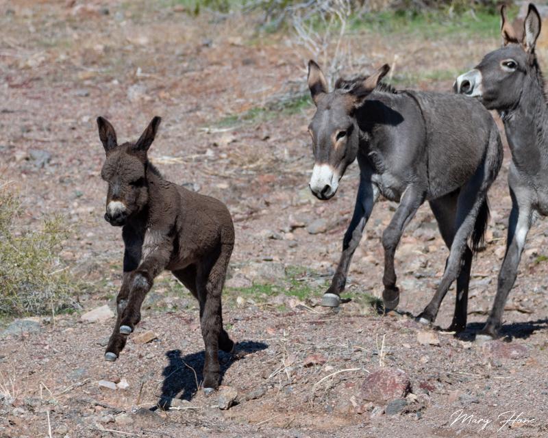 baby burro