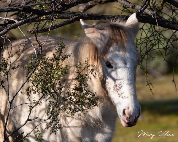 Wild Horses of the Salt River in Arizona