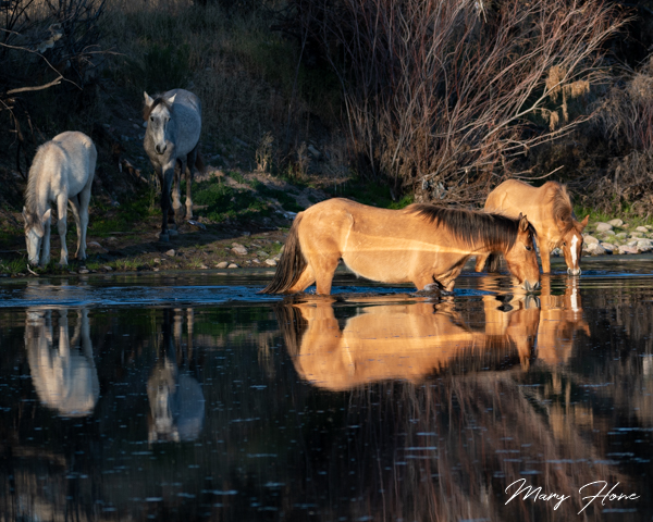 Wild Horses of the Salt River in Arizona
