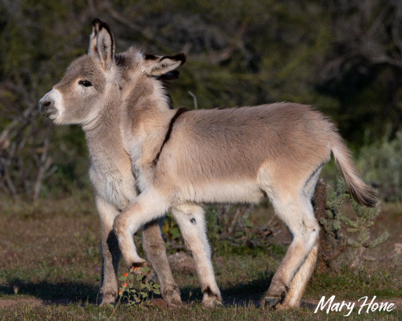 Wild Baby Burros Playing-The Cutest Thing on the Internet