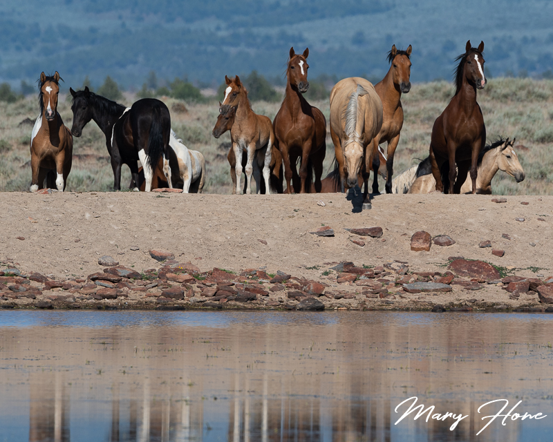 wild horses at the water holee