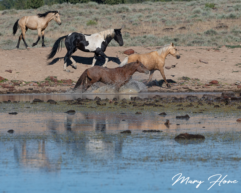 wild horses at the water hole