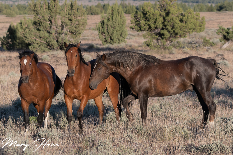wild horses of the oregon south steens