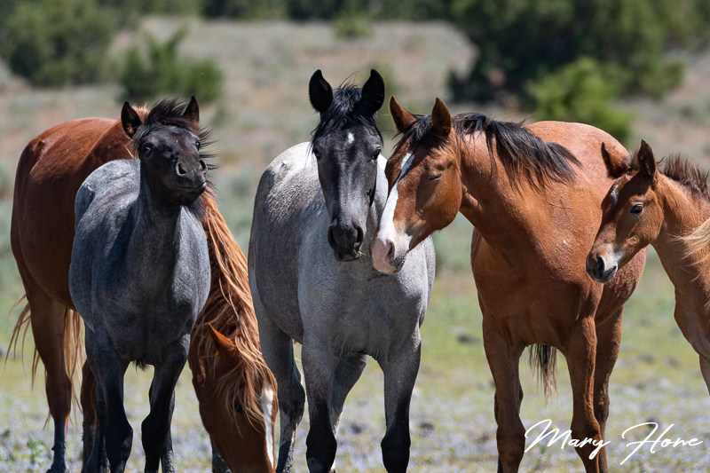 Wild Horses in Oregon's South Steens