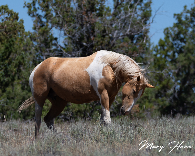 Palomino pinto wild horse