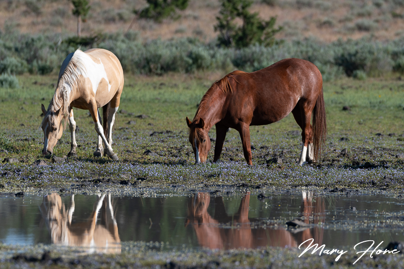 wild horses at water hole