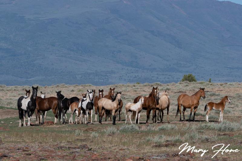 a band of wild horses