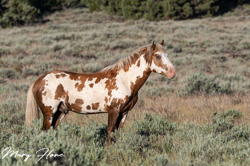 overo wild horse