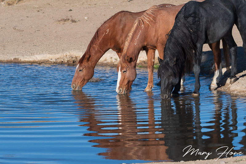 wild horses at a water hole
