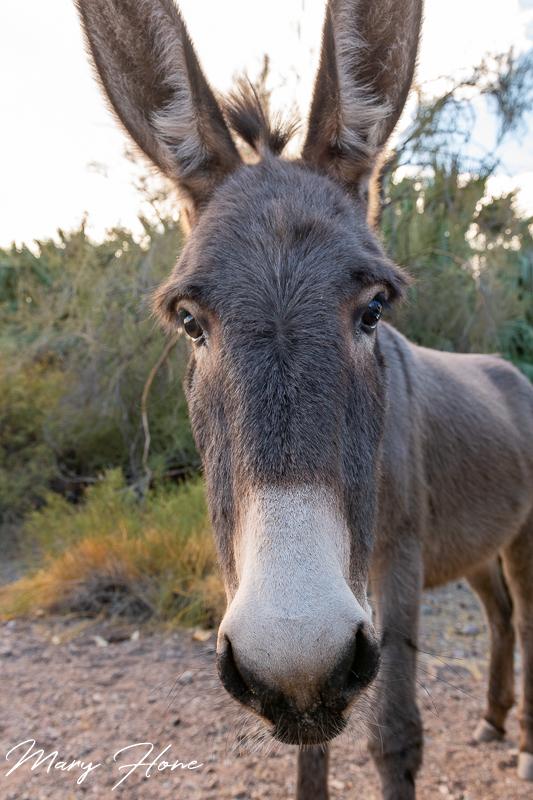 wild burro
