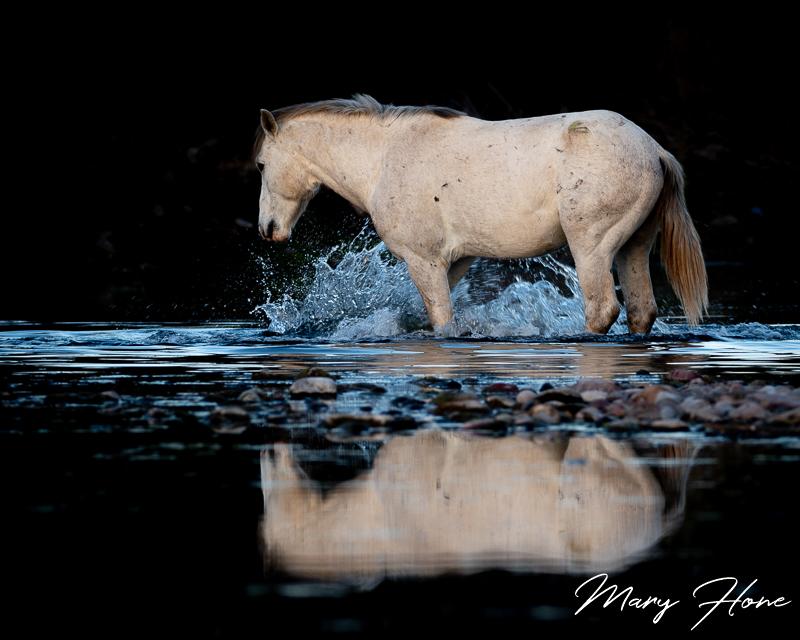 wild horse in a river