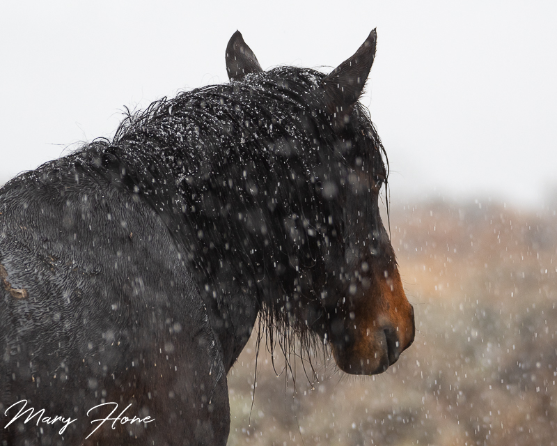 wild horse in the snow