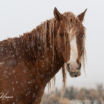 wild horses in the snow