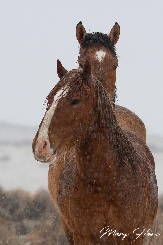 wild horses in snow