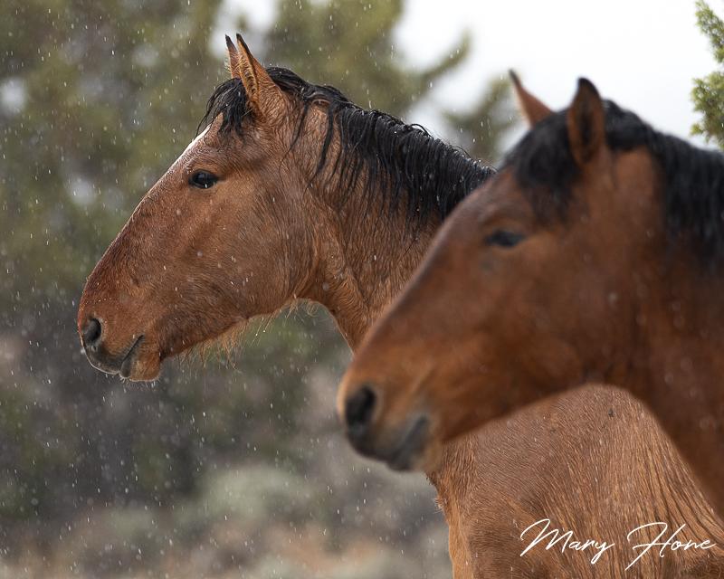wild horses in the snow